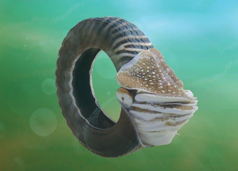 Nautile pneu, animal WWF graphique